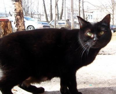 черный кот2