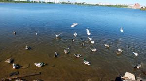 утки чайки на Театральном озере