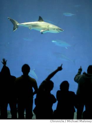 Monterey Bay Aquarium : Great White Shark Exhibit ...