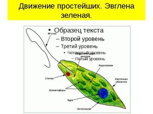 эвглена зеленая