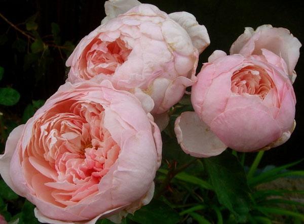 Английские розы фото сорта