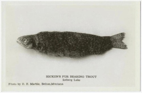 hickens-fur-bearing-trout