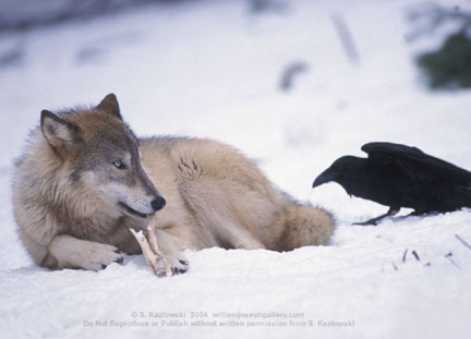 symbiosis-of-wolves-and-ravens