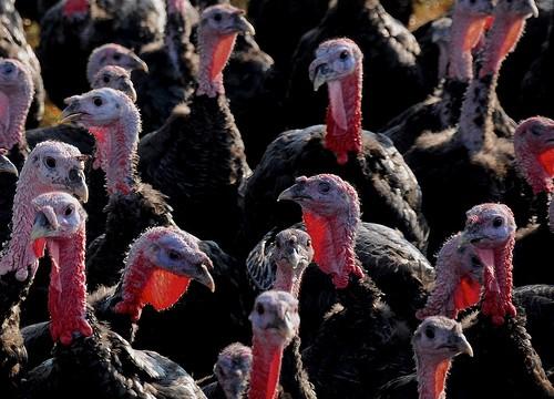 turkeys-e1321533659740