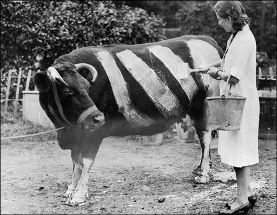 1941. Brit farmerek az elsötítés miatti balesetek megelőzésére, csíkosra festették teheneiket, hogy a világítás nélkül közlekedő autók könnyebben észre vegyék őket.