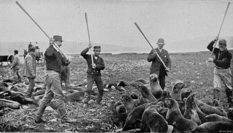 Men clubbing fur seals to death on St Paul Island, Alaska, 1895