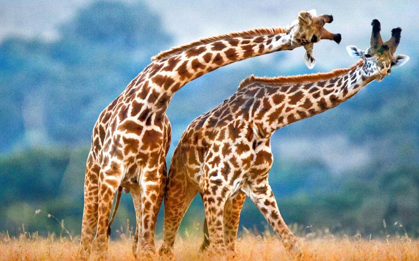 potd-giraffes_3155363k