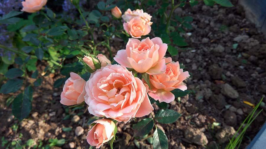розы4а.jpg