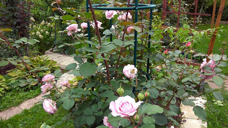 розы6.jpg
