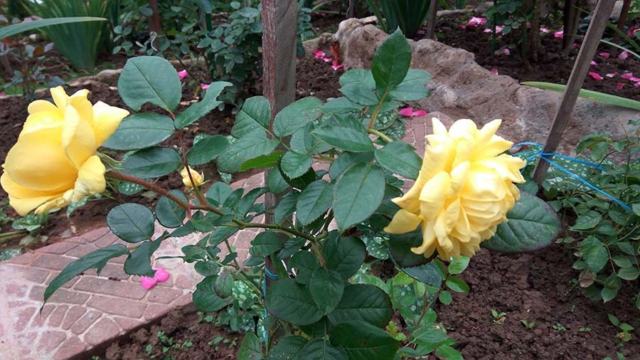 розы7.jpg