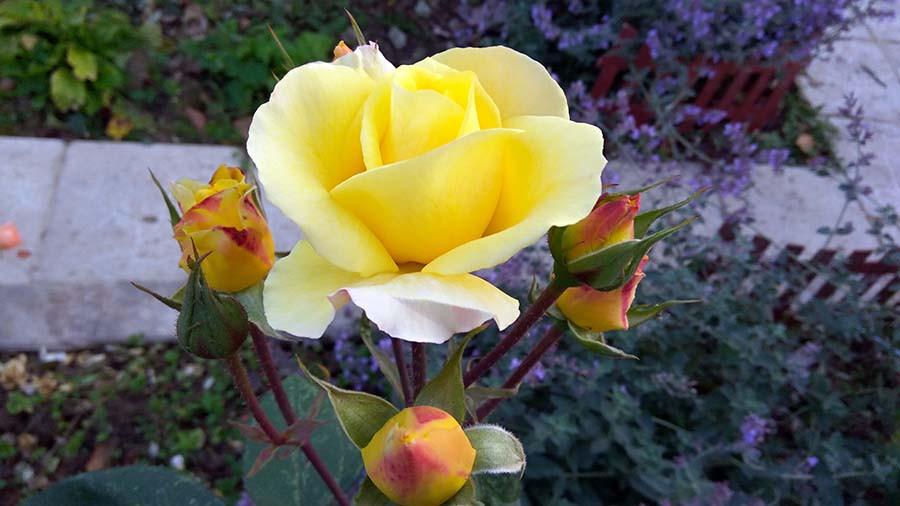 розы9.jpg