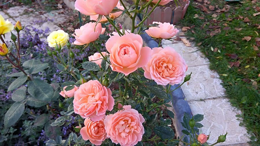 розы10.jpg