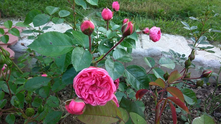 розы11.jpg