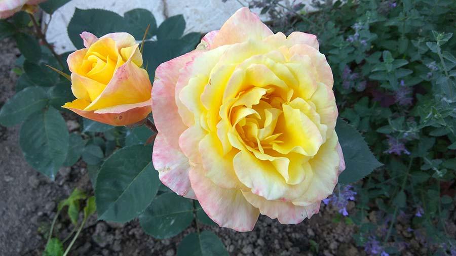 розы12а.jpg
