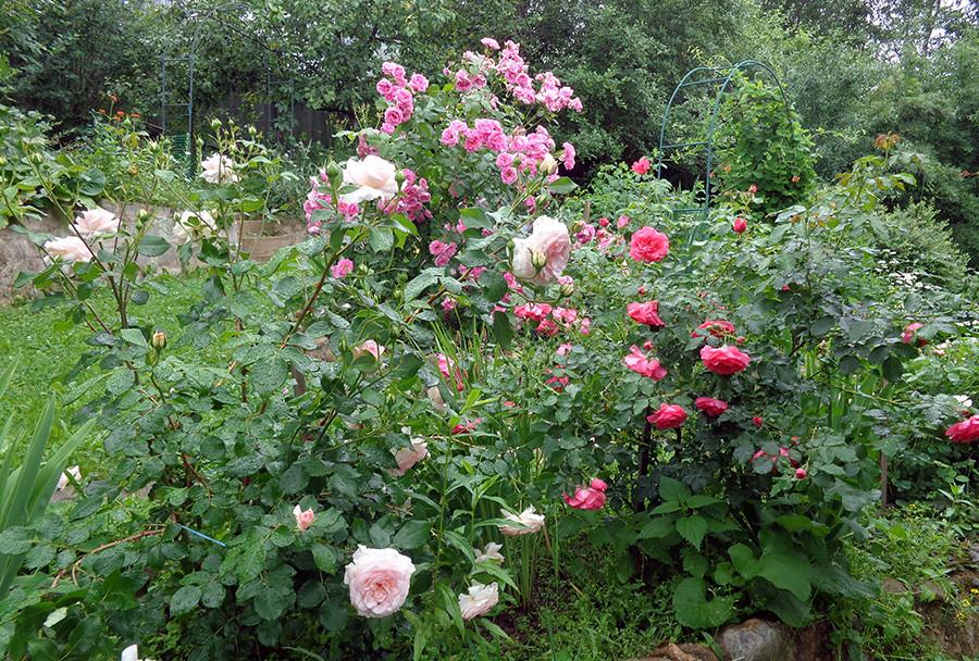 роза2а.jpg