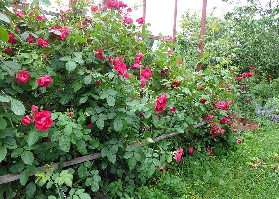 роза3а.jpg
