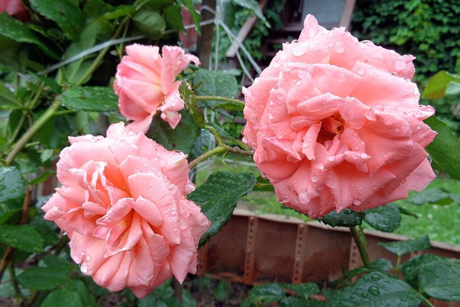 роза4.jpg