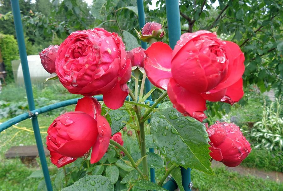 роза5.jpg
