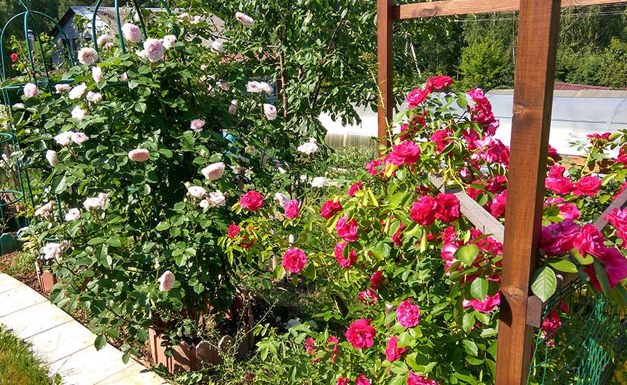 роза5а.jpg
