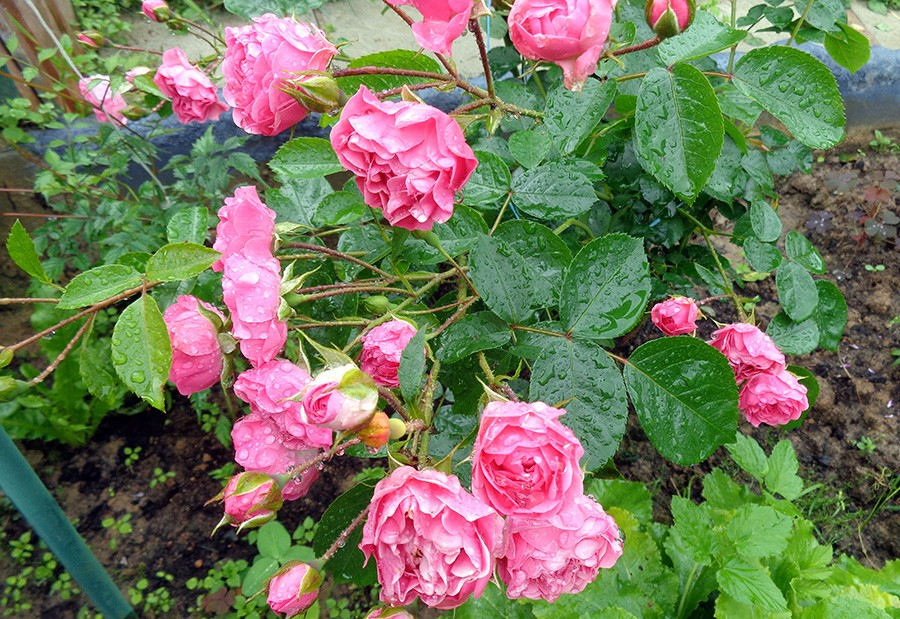 роза6.jpg