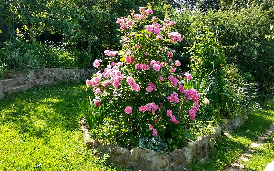 роза6а.jpg