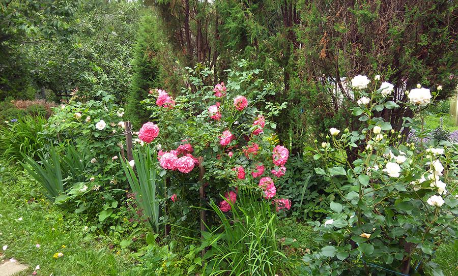 роза8а.jpg