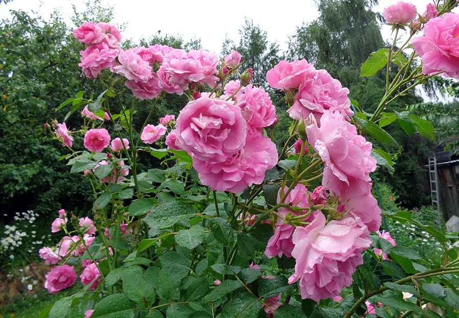 роза9.jpg