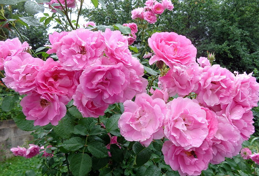 роза10.jpg