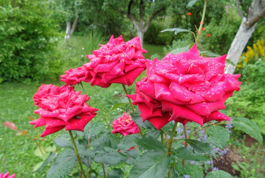роза12.jpg