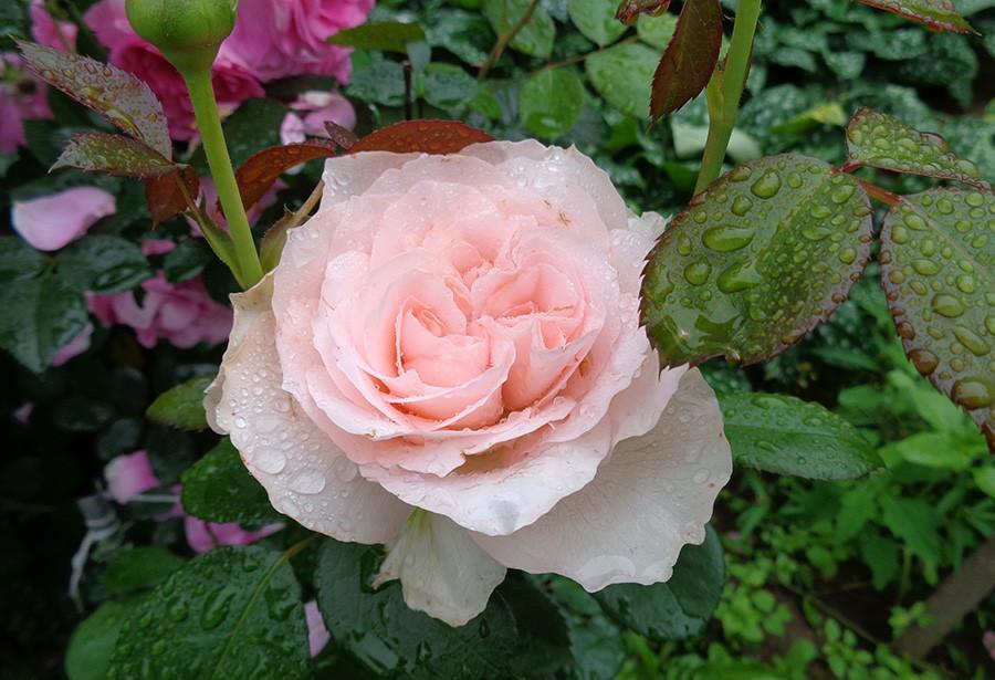 роза14.jpg