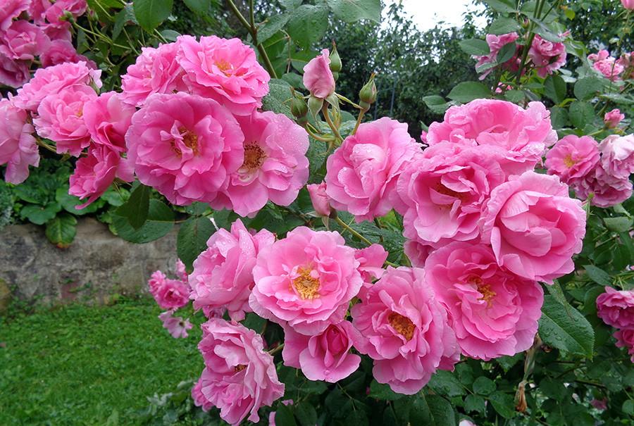 роза15.jpg