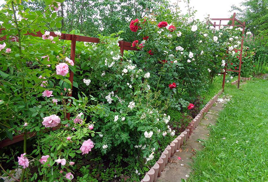 розы1а.jpg
