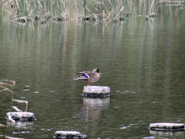 Duck_6325