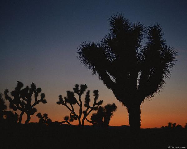 Кактусы на закате