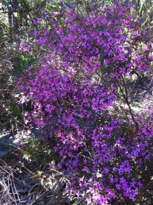 Sydney Boronia (Boronia Ledifolia) Blooming in Kuring-gai Chase 2012