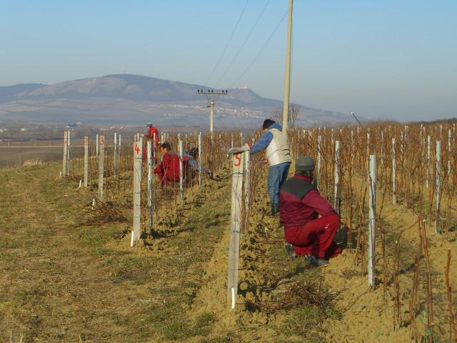 Виноградники были высажены в