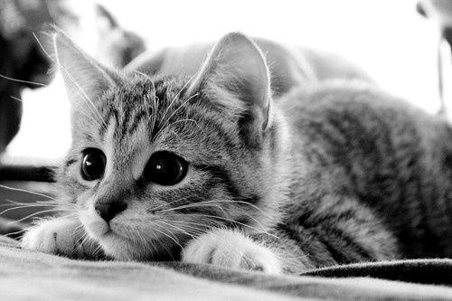 black-and-white-cat-cute-Favim.com-244510