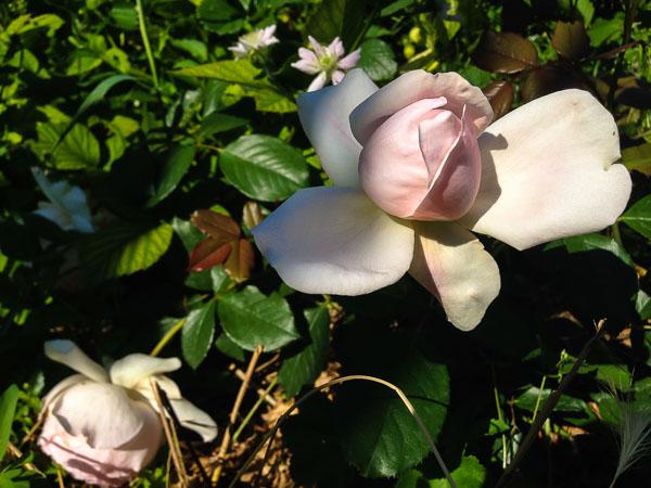 roze-8726.jpg