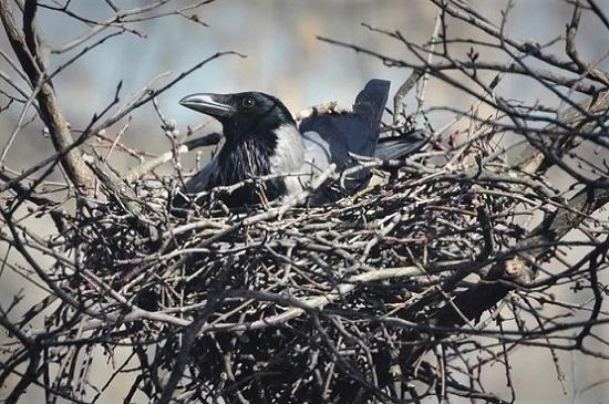 Хорошо иметь гнездо на дереве, но не всем достаётся. Фото из интернета.