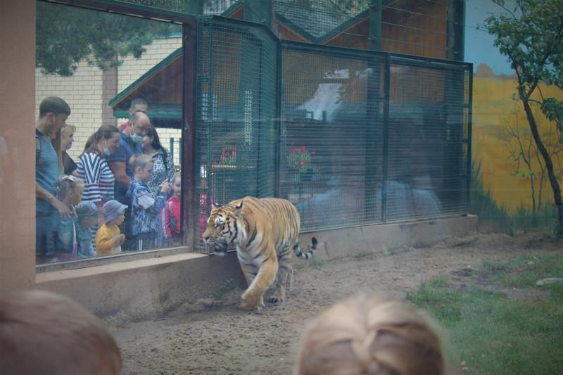 Тигр  привык к многочисленным посетителям, тем более они за стеклом. Он смотрит на людей, как в телевизоре.