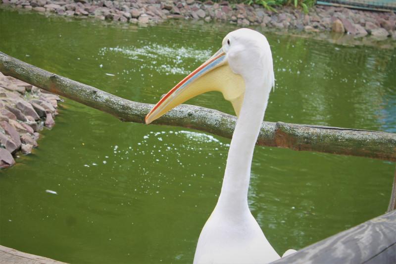 Пеликан с большим клювом, даже меня схватил, когда я мимо проходил.