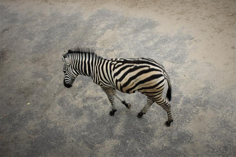 Контрастные полозки зебры.