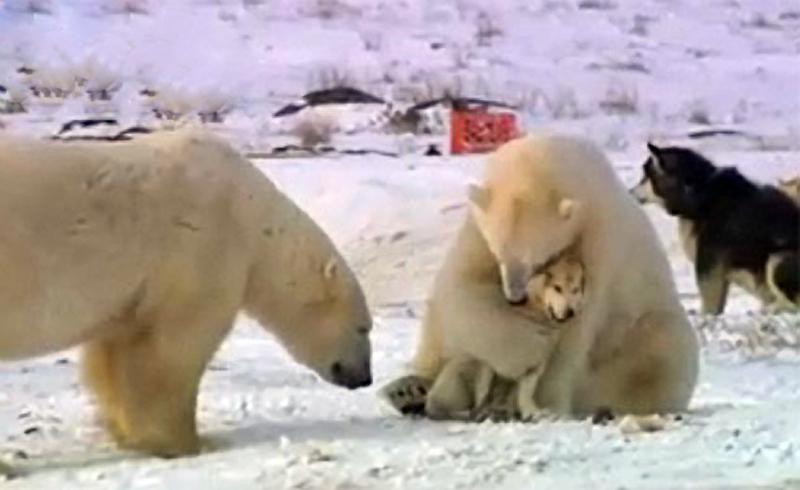 Syberian-Husky_VS_White-Bear_022.jpg