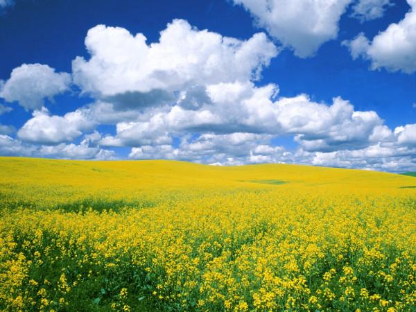 Поле жёлтое, небо синее