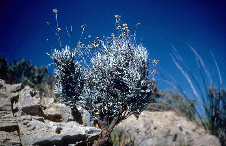 Parthenium_argentatum_(USDA)
