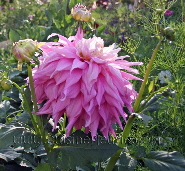 Георгина Claudette: Мой сад