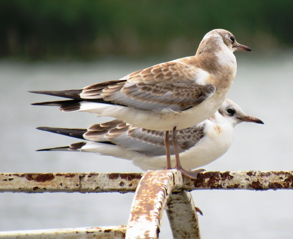 птицы чайки