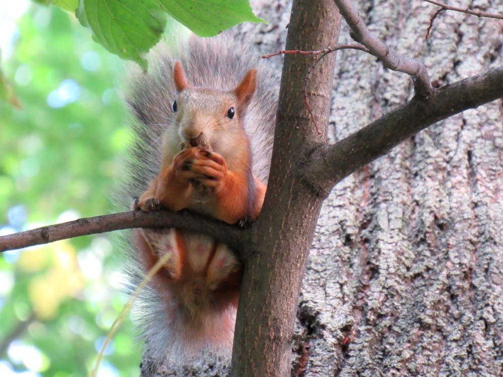 белка во дворе_старая на дереве