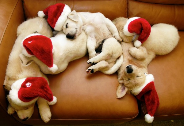 cute-christmas-puppies1