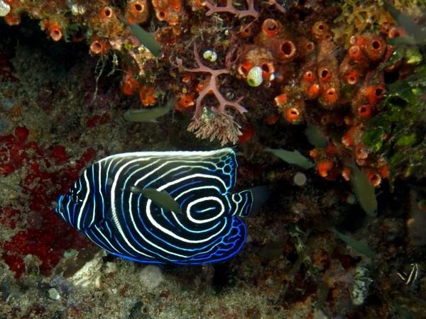 1337345985_2.juvenile-emporer-angel-fish-600x450